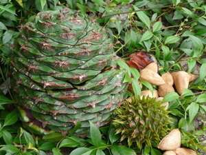"Photo by Craig Hosmer & Darly Reinke, ""Bunya Pine cone and nuts"""