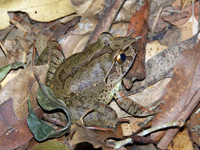 Giant Barred Frog - Tony Bright