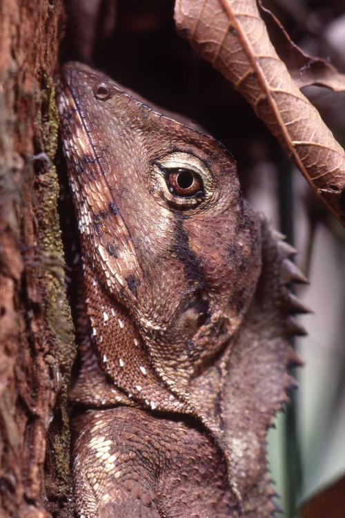 Angle-headed dragons occur in rainforests of the Blackall and Conondale ranges.